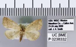 Zanclognatha jacchusalis image