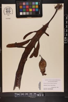 Ecklonia maxima image