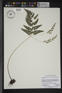 Image of Anemia adiantifolia