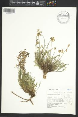 Image of Astragalus salmonis