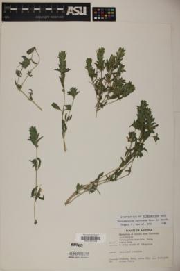 Tetramerium nervosum image