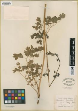 Thalictrum polycarpum image