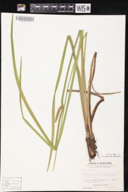 Acorus calamus image