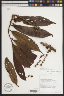 Iryanthera lancifolia image