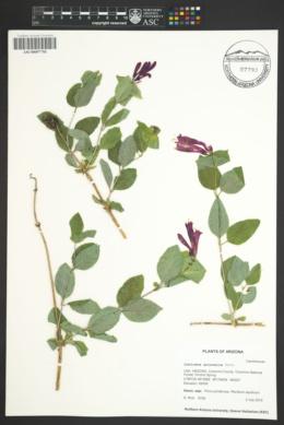 Lonicera arizonica image