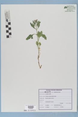 Image of Verbena ambrosifolia
