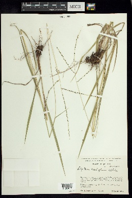 Image of Digitaria curtigluma