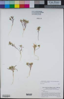 Navarretia mitracarpa image