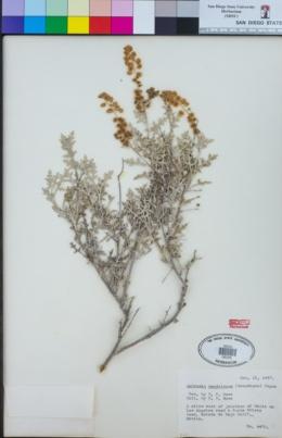 Ambrosia magdalenae image