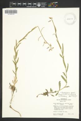 Image of Boechera pauciflora