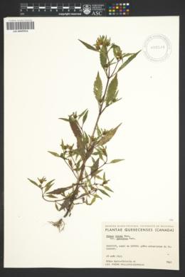 Image of Bidens eatonii