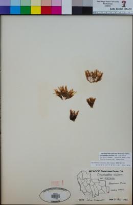 Image of Coryphantha alversonii