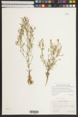 Aliciella stenothyrsa image