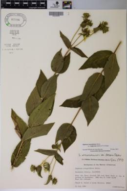Silphium integrifolium var. neglectum image