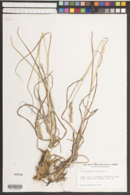 Dactylis glomerata image