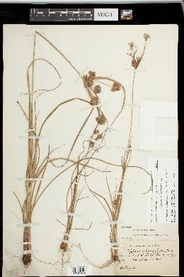 Cyperus × mesochorus image