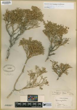 Glossopetalon spinescens var. aridum image