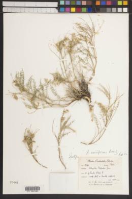 Image of Astragalus oniciformis