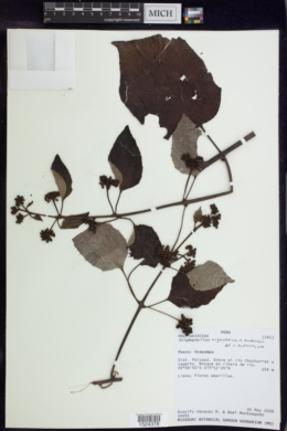 Image of Stigmaphyllon argenteum
