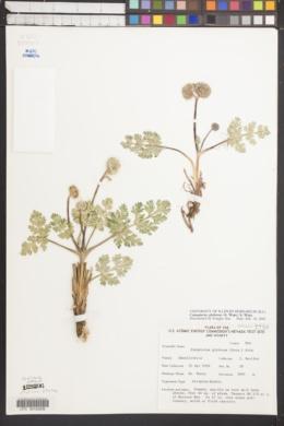 Cymopterus globosus image