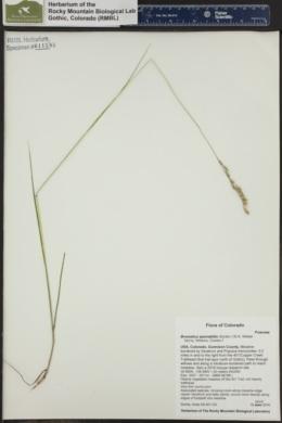Image of Bromelica spectabilis