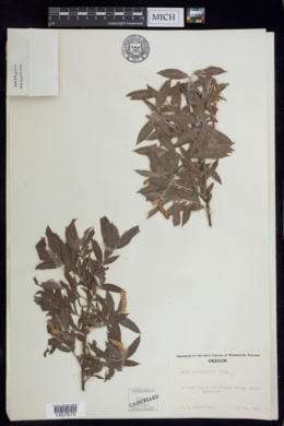 Image of Salix sessilifolia