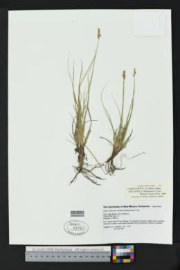 Carex inops subsp. heliophila image