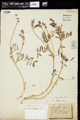 Image of Astragalus eucosmus