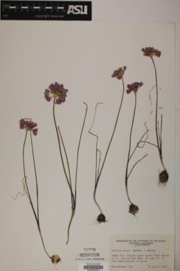 Image of Allium serra