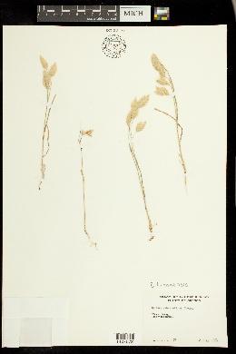 Image of Bromus luzonensis