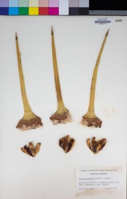 Yucca brevifolia image