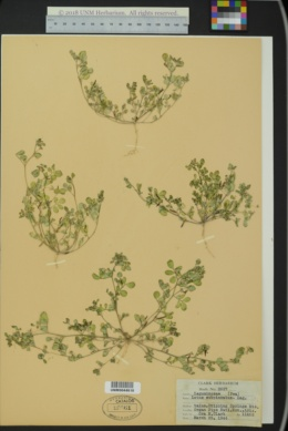 Image of Lotus wrangelianus