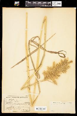 Image of Saccharum giganteum