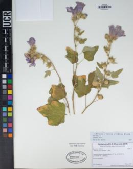 Image of Lavatera olbia