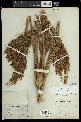 Image of Cyperus prolixus