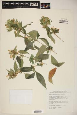 Ruellia albiflora image