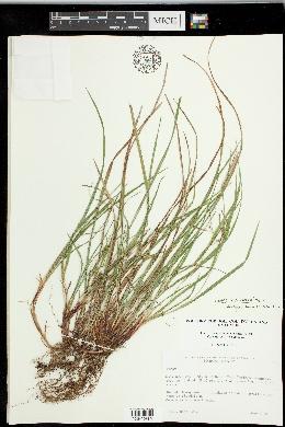 Carex paeninsulae image