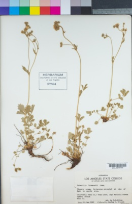 Image of Potentilla drummondii