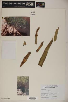 Image of Aloe ramosissima