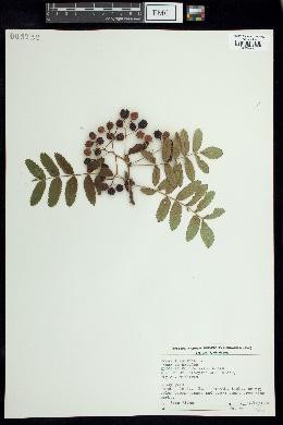 Pyrus aucuparia image