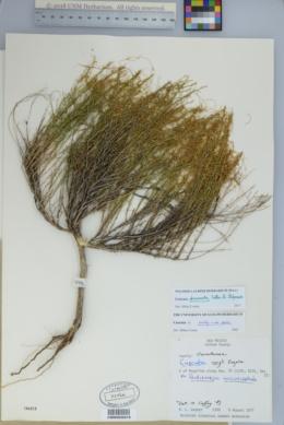 Image of Cuscuta draconella