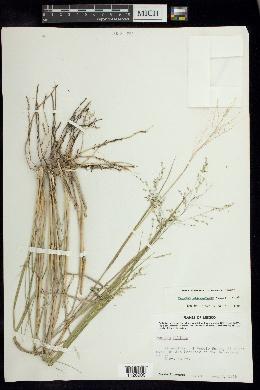 Image of Panicum tamaulipense