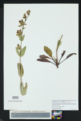 Penstemon lentus var. albiflorus image
