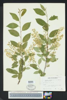 Prunus serotina var. rufula image