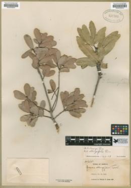 Quercus oblongifolia image