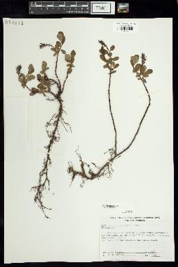 Salix arbutifolia image