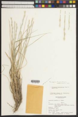 Thinopyrum bessarabicum image