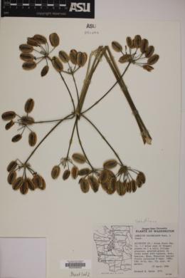 Image of Lomatium columbianum