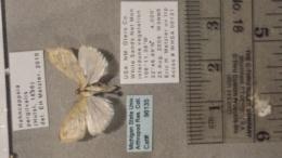 Hahncappsia pergilvalis image