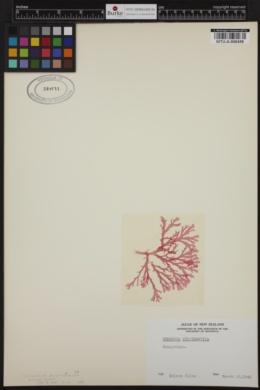 Hymenena multipartita image